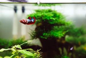 4 Alasan Ikan Cupang Memuntahkan Makanannya