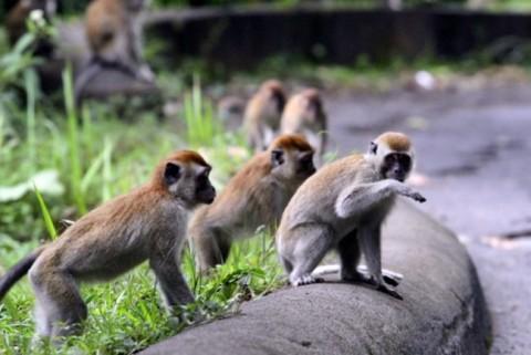 Monyet Liar Serang  Bocah di Perum Dinas Puspitek Tangsel, Warga Resah
