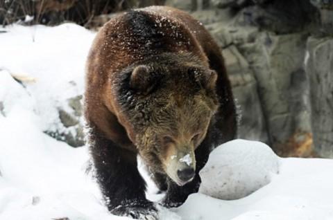 Perempuan Alaska Diserang Beruang saat Sedang Gunakan Toilet