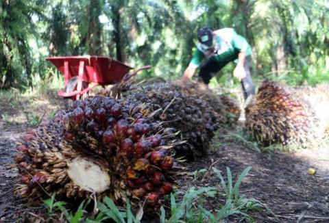 KPK Temukan Segudang Masalah dalam Industri Sawit di Papua