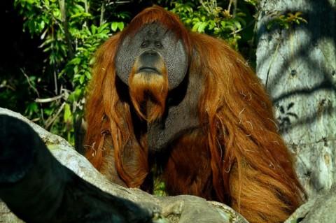 Orangutan di Kebun Binatang AS Disuntik Vaksin Covid-19