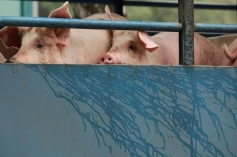 Babi Hutan di OKU Mati Diserang <i>Africa Swine Fever</i>