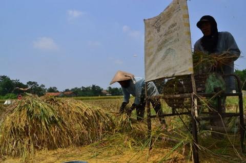 Harga Gabah di Mesuji Lampung Turun