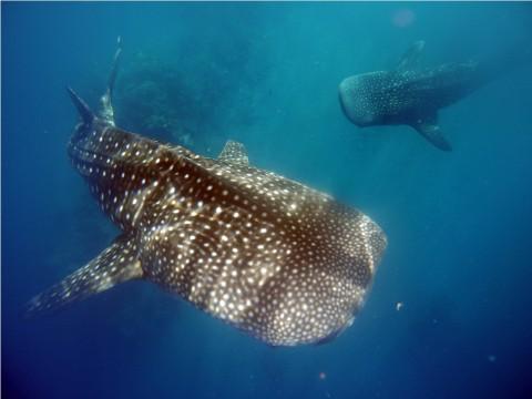 Keberadaan Ikan Hiu-Pari Indikator Kesehatan Laut