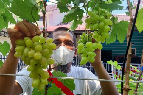 Warga Minati Budi Daya Anggur dalam Pekarangan Rumah