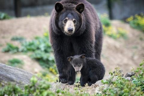 Seorang Perempuan Tewas Diserang Beruang di Pegunungan Colorado