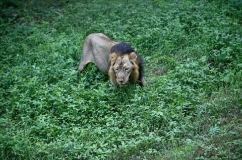 Terlihat Sesak Napas, 8 Singa di India Positif Covid-19