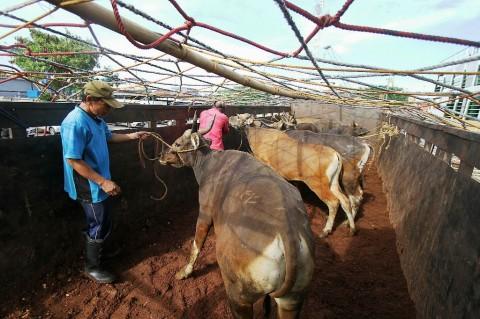 Kabupaten Tubaba Targetkan 500 Ekor Hewan Ternak Ikut AUTS/K