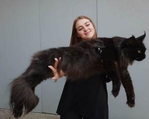 Begini Cara Merawat Kucing Maine Coon yang 'Super' Besar