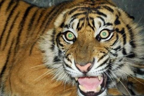 Populer Nasional: Kesehatan Harimau Hingga Usulan Pedoman <i>Restorative Justice</i>