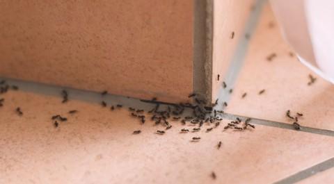 5 Cara Usir Semut dari Rumah