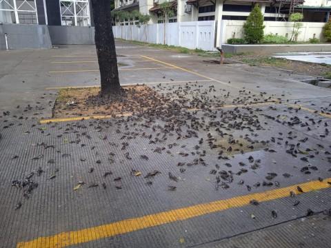 Kawanan Burung Mati Berserakan di Balai Kota Cirebon