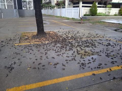 5 Fakta Kawanan  Burung Mati di Cirebon