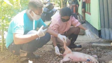 Ribuan Ternak Babi di Sikka Mati Akibat Wabah ASF