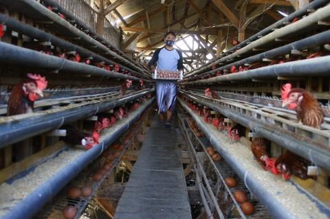 Peternak Ayam Petelur di Natar Lampung Selatan Terancam Bangkrut