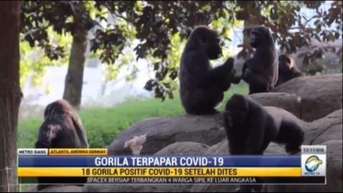 18 Gorila di Kebun Binatang Atlanta Positif Covid-19 Varian Delta