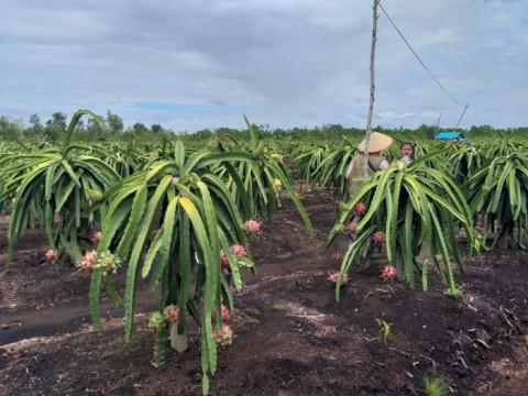 Beralih ke Listrik PLN, Omzet Petani Buah Naga Meroket 150%
