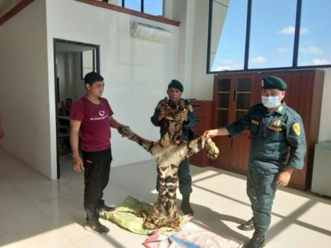 KLHK Menggagalkan Perdagangan Kulit Harimau Sumatra
