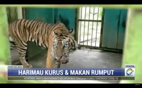 Viral Video Harimau di Medan Zoo Kurus, Ini Kata Pengelola