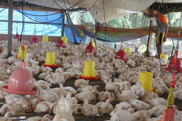 Serangan Flu Burung Mengakibatkan Peternak Merugi