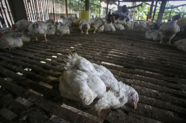 Anomali Cuaca, Waspadai Penyebaran Flu Burung
