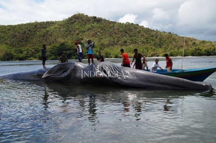 Paus Raksasa Kembali Terdampar di Pulau Seram