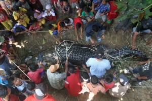 Warga melihat seekor buaya betina raksasa yang ditangkap di Desa Lhok Seuntang, Kecamatan Julok, Aceh Timur, Aceh, Selasa, 13 Februari 2018. Agar tidak membahayakan, bagian kaki dan mulut buaya tersebut diikat.