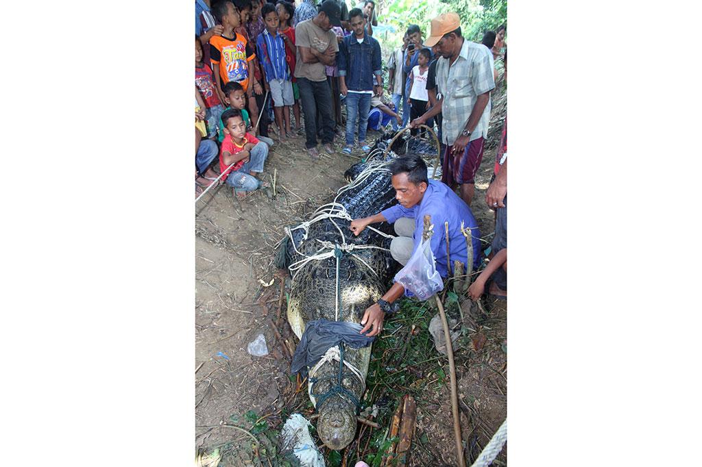 Buaya Raksasa Ditangkap Warga Aceh Timur