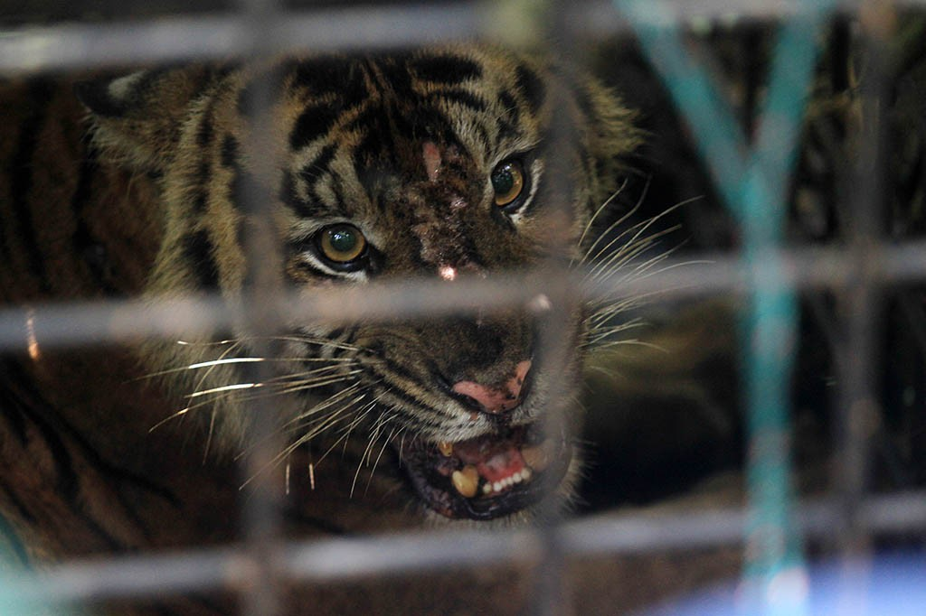 BKSDA Tunda Evakuasi Anak Harimau Sumatera