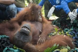 Manager OPU IAR Indonesia, Catur mengungkapkan menurut informasi dari warga sekitar Desa Tempurukan, sejak tahun 2013 individu orangutan ini sempat terlihat masuk ke perkebunan warga.