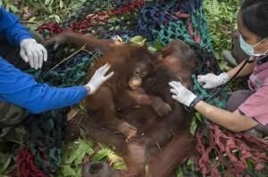 Untuk menghindari hal-hal yang tidak diinginkan, IAR Indonesia dan BKSDA Kalimantan Barat sepakat untuk melakukan translokasi induk dan anak orangutan yang diberi nama Mama Ris dan Baby Riska ini.