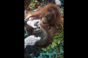Satu bayi orangutan memeluk induknya yang masih dalam pengaruh obat bius saat diperiksa tim medis International Animal Rescue (IAR) Indonesia di Desa Tempurukan, Muara Pawan, Kabupaten Ketapang, Kalbar.