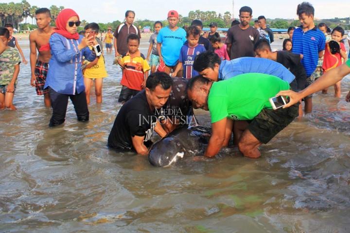 Paus Kepala Melon Terdampar di Kupang