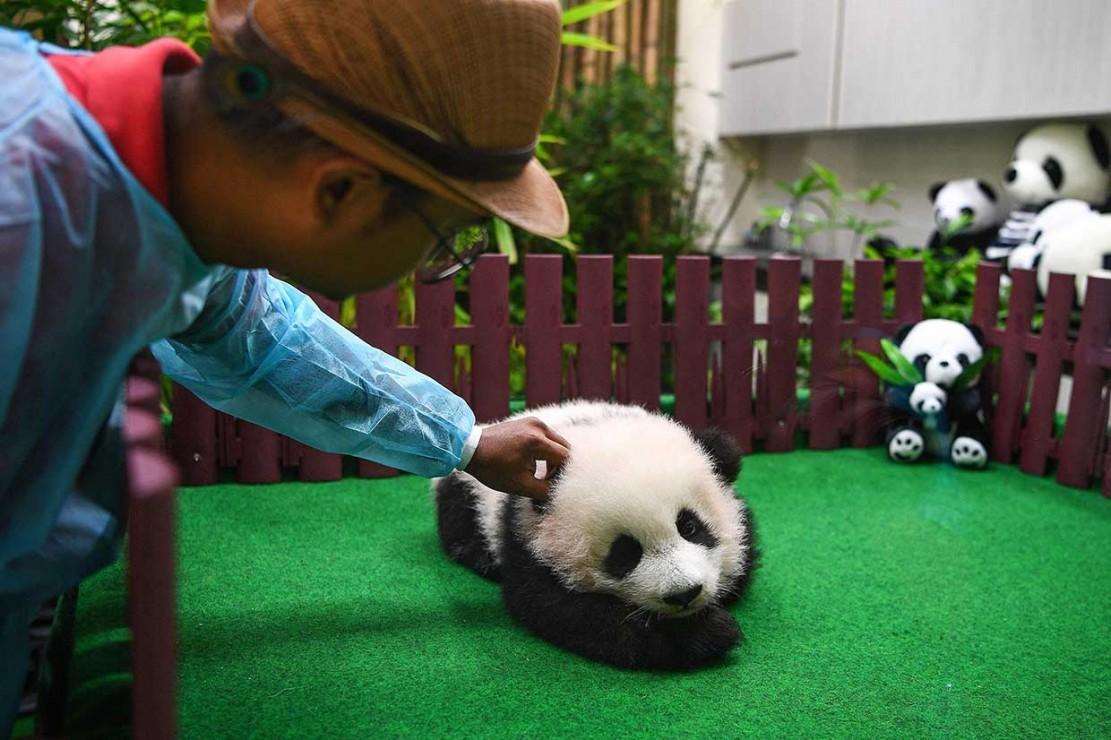 Bayi Panda yang Lahir di Malaysia Diperkenalkan ke Publik