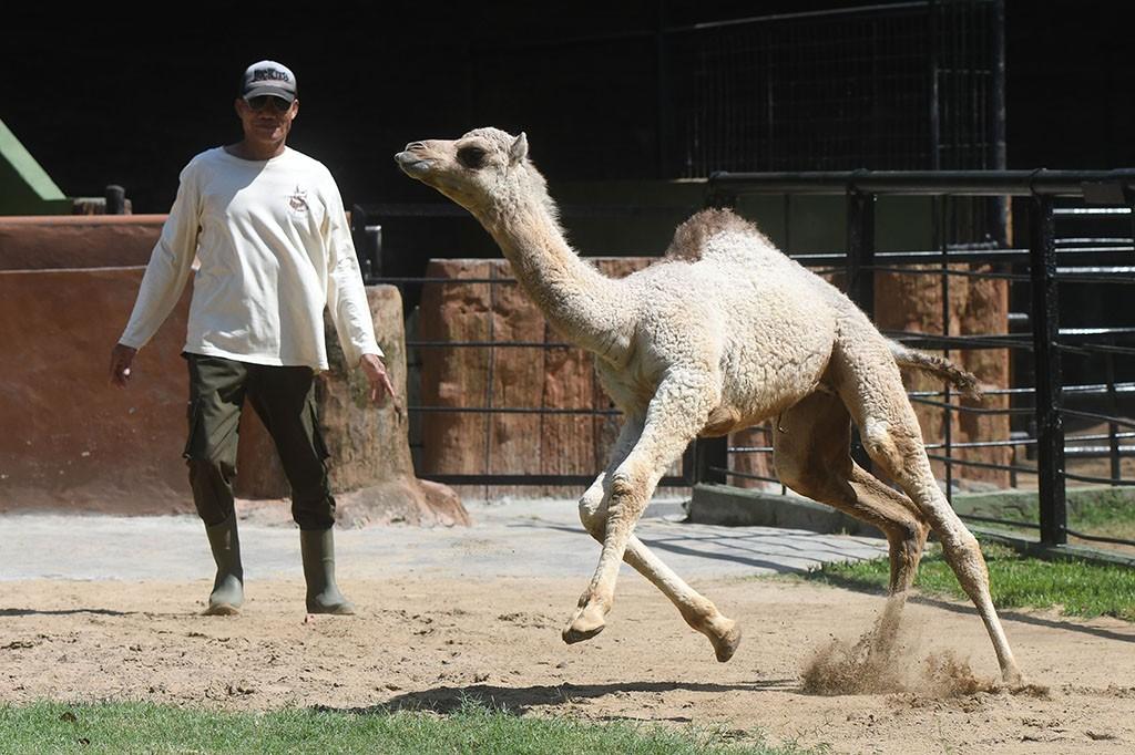 Koleksi Kuda Nil di Kebun Binatang Surabaya Bertambah