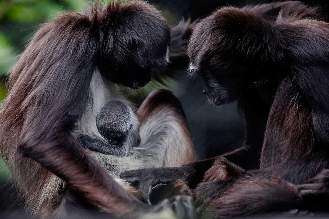Induk monyet laba-laba merawat bayinya di Kebun Binatang Santa Fee di Medellin, Antioquia, Kolombia, Kamis, 13 September 2018. Bayi monyet laba-laba yang lahir pada Minggu, 9 September tersebut belum diketahui jenis kelaminnya.