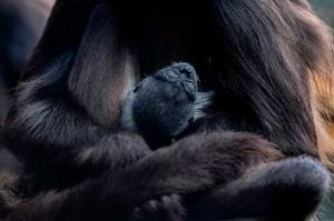 Monyet berambut hitam itu beratnya sekitar satu kilogram (2,2 pon) dan tinggi sekitar 20 sentimeter (delapan inci). Ini adalah kelahiran ketiga di kebun binatang tersebut sejak 2012.