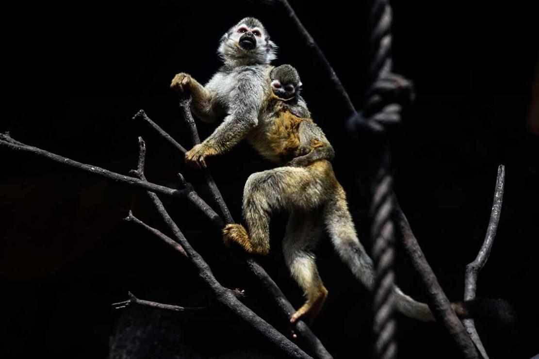 Kebun Binatang San Fe sekarang memiliki 20 monyet laba-laba, dan mengharapkan jumlahnya terus meningkat karena satu jantan dan beberapa betina tengah dalam kondisi subur.