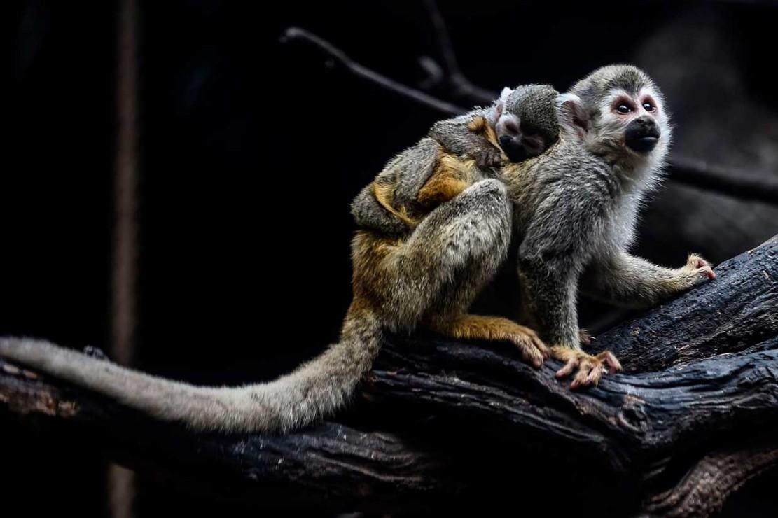 Monyet laba-laba, yang habitat alaminya adalah hutan hujan tropis, termasuk di antara 25 primata paling terancam di dunia.