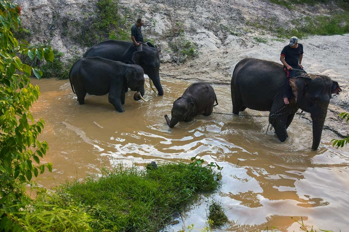 Terkena Jerat, Anak Gajah Liar Dievakuasi