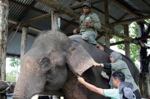 Dokter hewan dari BKSDA Aceh dibantu mahot memasang jarum infus pada bagian telingan gajah terlatih yang mengalami gangguan kesehatan di Pusat Latihan Gajah (PLG) Saree, Kecamatan Lembah Seulawah, Kabupaten Aceh Besar.
