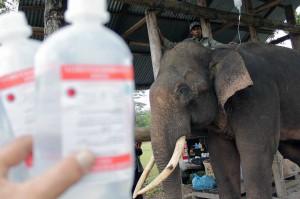 Karena kondisinya lemah, gajah tersebut terpaksa harus diberi cairan infus. Tim dokter juga berupaya meningkatkan nafsu makan dan menambah nutrisi gajah berusia 30 tahun tersebut.