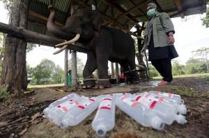 Gajah terlatih dan memiliki berat 3,4 ton yang digunakan untuk mengusir gajah liar itu menjalani perawatan dan pengawasan intensif, karena mengalami gangguan pencernaan, dehidrasi, dan nafsu makan menurun.