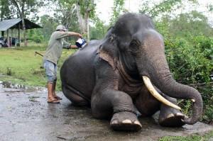 Sebelum dilakukan pengobatan, gajah sumatra tersebut dimandikan terlebih dahulu.