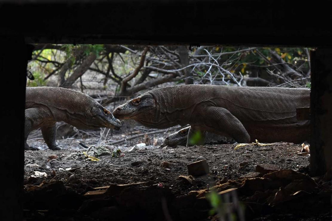 Pulau Rinca yang merupakan zona inti Taman Nasional Komodo dihuni lebih dari 1.500 ekor komodo, sementara di Pulau Komodo populasinya berjumlah sekitar 1.300 ekor.