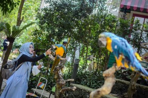Pengunjung memberi pakan untuk burung makaw biru kuning (Ara arauna) di Wisata Taman Burung Bird & Bromelia Pavilion, Bandung, Jawa Barat, Sabtu, 20 Oktober 2018.