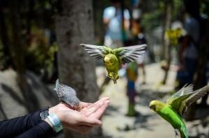 Pengunjung memberi pakan untuk burung Parkit (Melopsittacus undulatus) di Wisata Taman Burung Bird & Bromelia Pavilion, Bandung. Selain burung ada juga hewan lainnya seperti kelinci, angksa, ayam, dan ikan.