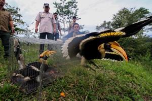 Burung Rangkong jantan tersebut dilepas liarkan dengan cara membuka sangkar kurungan dan dibiarkan lepas.