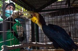 Seorang dokter hewan memeriksa keseahtan burung julang emas (Aceros undulatus)  yang baru disita dari warga Pidie di kandang rehabilitasi BKSDA, Aceh Besar, Aceh, Kamis, 1 November 2018. AFP Photo/Chaideer Mahyuddin