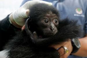 BKSDA Aceh juga merawat bayi siamang (Symphalangus syndactylus) berusia sekitar dua bulan yang disita dari warga beberapa waktu yang lalu. Untuk dilepasliarkan ke habitatnya, satwa langka tersebut harus mendapat perawatan khusus dalam jangka waktu sekitar tiga tahun. Antara Foto/Irwansyah Putra